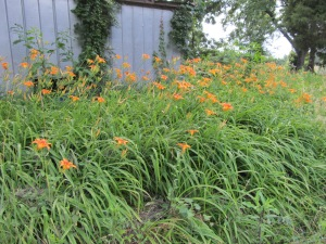 Gorgeous day lilies behind the house.